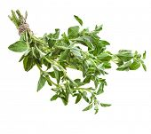 pic of origanum majorana  - fresh leaves oregano  - JPG