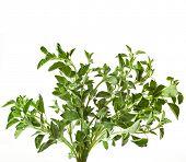 picture of origanum majorana  - fresh leaves oregano  - JPG