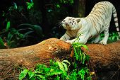 stock photo of white-tiger  - white tiger stretching its back on a fallen tree trunk - JPG