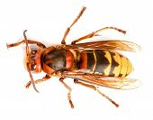 pic of vespa  - European hornet Vespa crabro isolated on white - JPG
