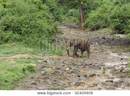 Elephant Crossing River Bed In Africa