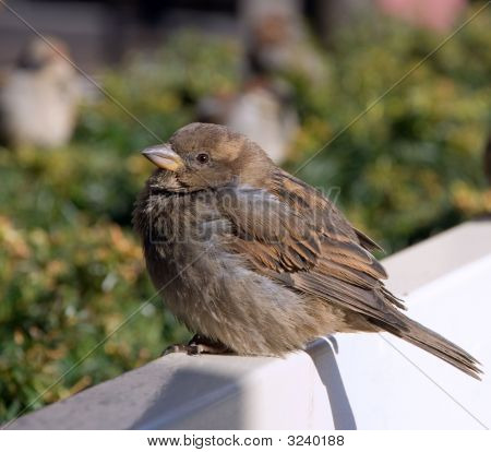 A Sparrow Sits On White Bench
