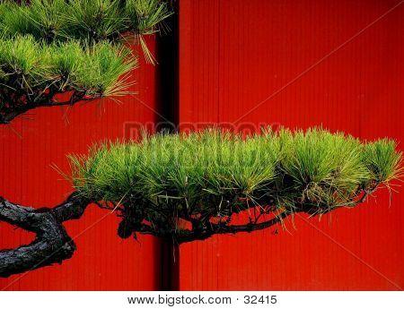 Japanese Pine Tree