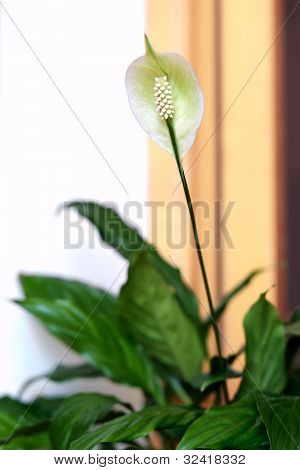 White Spathiphyllum flower
