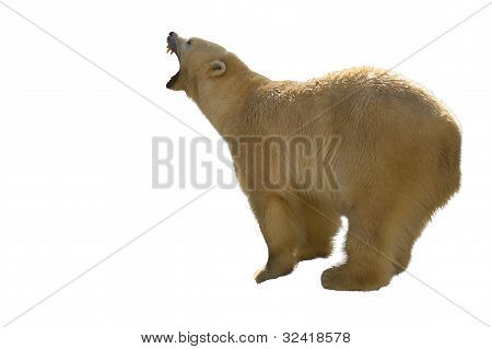 polar bear prepearing for fight