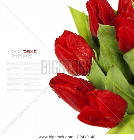 fresh red tulips on white background