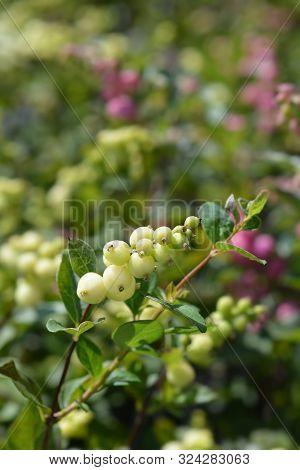 poster of Snowberry Magical Galaxy - Latin Name - Symphoricarpos X Doorenbosii Magical Galaxy