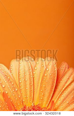 yellow gerbera daisy flower on a orange background