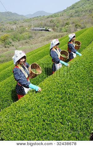 Women harvesting tea leaves