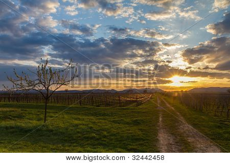 Vineyard at sunset, Pfalz, Germany