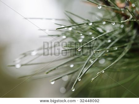 Water Drop On Pine Needles