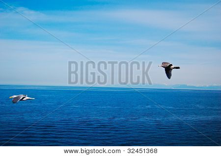 Sea Gull Flying Across The Blue Ocean