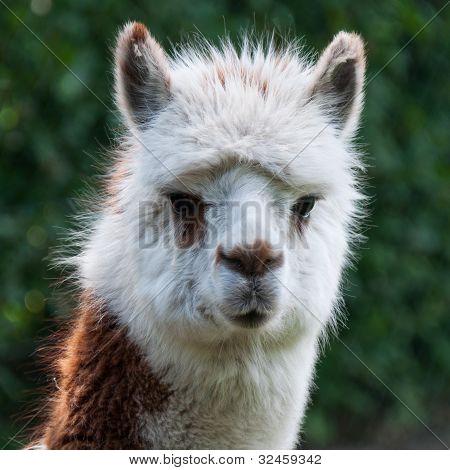 Portrait Of A Llama Lama Glama