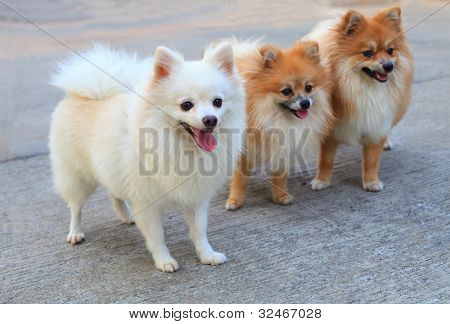 white pomeranian dog brown color