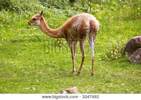Llama Guanaco