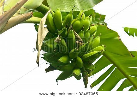 Cluster Of Bananas
