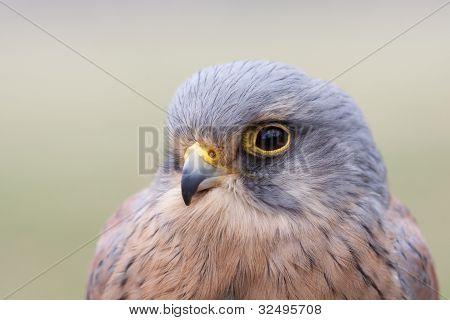 portrait of a male kestrel