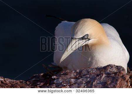 Close-up of a Gannet on its nest