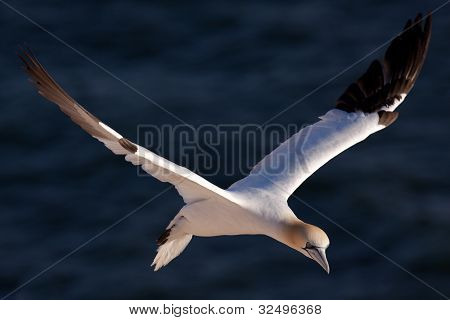 Gannet flying above the sea