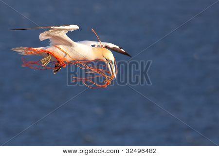 A gannet flying with an orange rope in it's beak