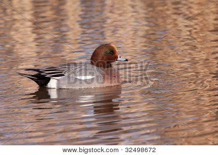Male Wigeon or Eurasian Wigeon