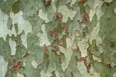 Platanus, Or Sycamore Bark Close-up. The Closeup Of A Sycamores Tree Bark. poster