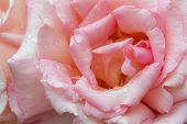 Rosa Compassion. Close Up Of Beautiful Pale Pink Rose Flower Blushed With Peach And Covered In Raind poster
