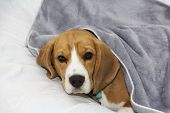 Beagle Dog Lies Covered With A Blanket And Falls Asleep. Tired Or Sick Dog Under Blankets In Bed. poster