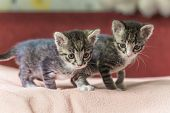 Two Little Kittens Play On The Bed. Domestic Cats In A Shelter. No One Needs Cats. Breeding Cats Fro poster
