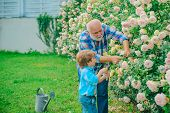 Flower Rose Care And Watering. Grandfather With Grandson Gardening Together. Grandfather Working In  poster