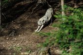 Wolf In A Relaxed Position, In The Forest Background. Close To Wolf Resting In Natural Environment.  poster