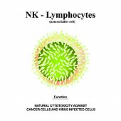 Nk Lymphocytes Structure. The Functions Of Nk Lymphocytes. Immunity Helper Cells. Infographics. Vect poster