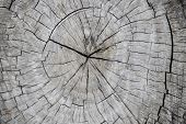 Wooden Trunk Cross-section. Tree Trunk Top View Photo. Natural Timber Background With Weathered Crac poster