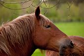 foto of shire horse  - Close up of a British Suffolk Punch shire horse