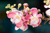 stock photo of cannonball-flower  - Salavan flower The important flower of Buddhism - JPG