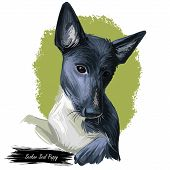 Seskar Seal Dog Hound Animal Digital Art. Seiskarinhyljekoira Pet Originating From Finland, Watercol poster