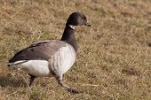 A Pale-bellied Brant Goose