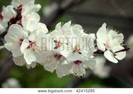 Flowering apricot.
