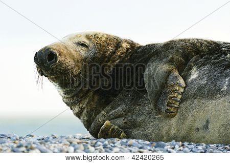 Gray Seal On Stony Beach