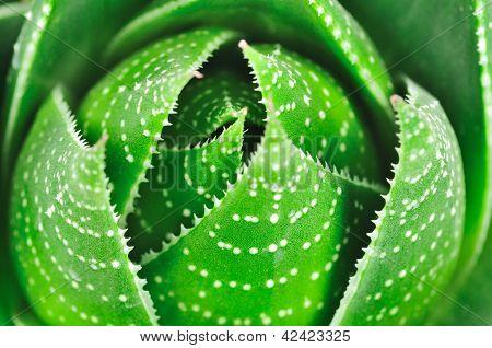 Aloe-Hintergrund