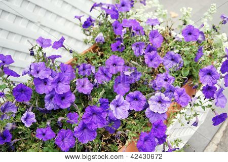 Colorful Flowers Of Surfinia Petunia Plant