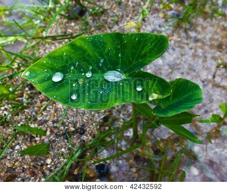 Drops of water on a lotus leaf is small
