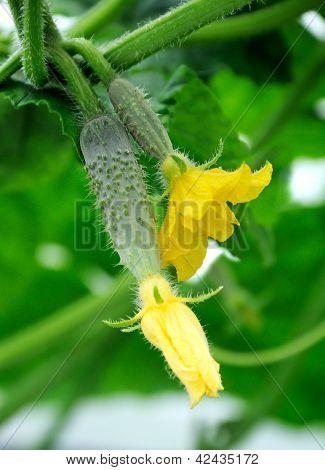 Cucumber's Ovary