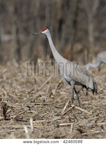 Sandhill Cranes In An Open Field