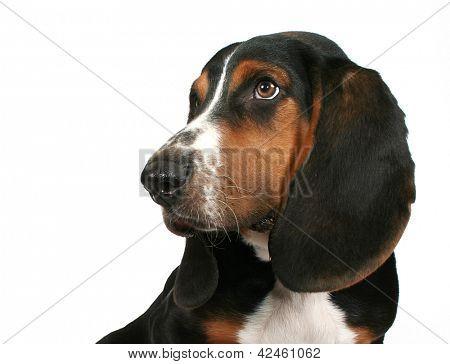 a cute basset hound puppy