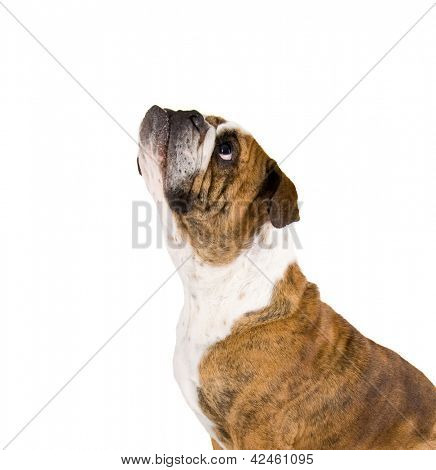 a a bulldog isolated on a white background