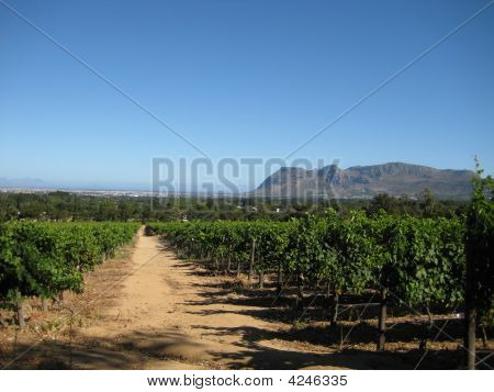 A Vineyard Path
