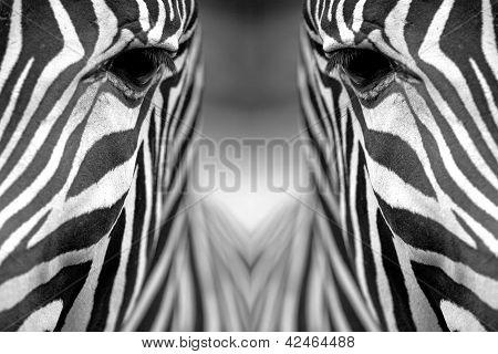 Textura de la piel de cebra monocromática