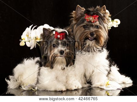 biewer Yorkshire terrier and flower orchid white