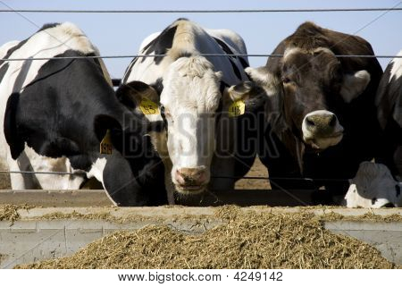 Cows At A Feeding Trough